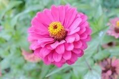 Big violet flower Royalty Free Stock Image