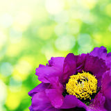 Big violet flower with yellow middle Stock Photos