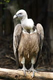 A big Vulture. A very big Vulture standing on a branch Stock Images