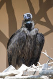 Big vulture Royalty Free Stock Image