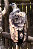A big vulture. On a tree take some rest Royalty Free Stock Images