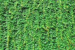 Big wall covered by green ivy leaves Stock Image