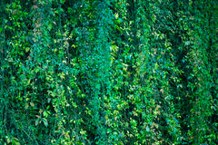 Big wall of ivy wine green leaves. Green background texture. Royalty Free Stock Images