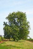 Big walnut tree Stock Images