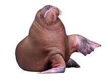 Big Walrus Royalty Free Stock Photography
