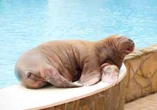 Big Walrus Stock Photo