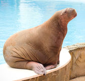 Big Walrus. For a design Royalty Free Stock Photography