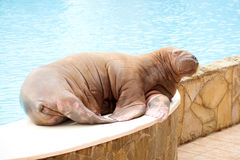 Big Walrus Stock Photography