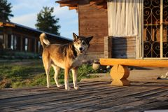 Big wandering dog in Russia Royalty Free Stock Images