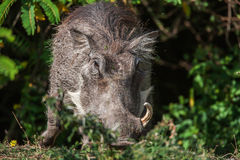 Big warthog with large tusks feeds on his knees in this close up portrait Stock Photos