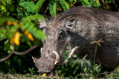 Big warthog with large tusks feeds on his knees in this close up portrait. In South Africa Royalty Free Stock Photo