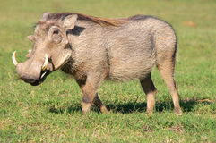 Southern african animals. Big warthog male at Addo Elephant Park Stock Images