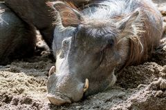 Warthog wild pig, lives in Africa, wild animal close up. Big warthog wild pig, lives in Africa, wild animal close up Royalty Free Stock Images