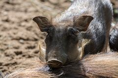 Warthog wild pig, lives in Africa, wild animal close up. Big warthog wild pig, lives in Africa, wild animal close up Stock Images
