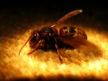 A big wasp royalty free stock photography