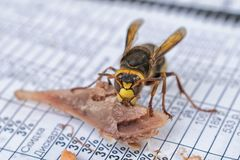 Big wasp eat meat on table closeup stock photo