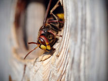 Big wasp - hornet Royalty Free Stock Images