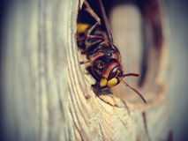 Big wasp - hornet Stock Photography
