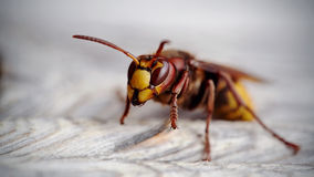 Big wasp - a hornet Royalty Free Stock Photo