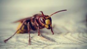 Big wasp - the hornet Stock Photos