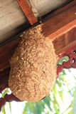 Big wasp nest. Inside house , [Vespula germanica stock image