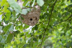 A wasp nest on the tree. A big wasp nest on the tree. This is realy dangerous royalty free stock image