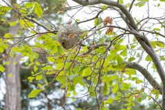 A wasp nest on the tree. A big wasp nest on the tree. This is realy dangerous stock image
