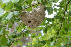 A wasp nest on the tree. A big wasp nest on the tree. This is realy dangerous stock photo