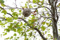 A wasp nest on the tree. A big wasp nest on the tree. This is realy dangerous royalty free stock photos