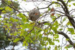 A wasp nest on the tree. A big wasp nest on the tree. This is realy dangerous royalty free stock photography