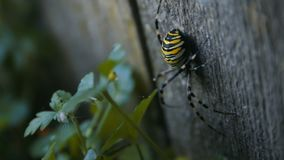 Big Wasp Spider on the Wooden Plank stock video