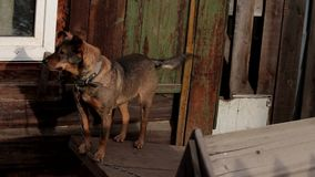 Big watchdog on a chain. Redhead dog on a chain in the village. stock footage