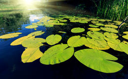 Big water lily leafs Stock Photo