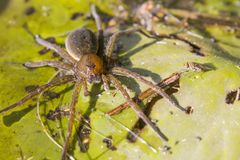 Big water spider Royalty Free Stock Photos