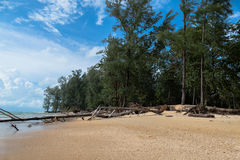 The big waves kill big pine trees. Pine grew up naturally along the beach pine trees and a large trunk Hundreds of years old Stock Photo