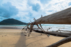 The big waves kill big pine trees. Pine grew up naturally along the beach pine trees and a large trunk Hundreds of years old Royalty Free Stock Image