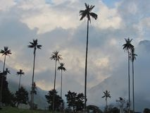 Big wax palm in Salento valley cocora Stock Photography