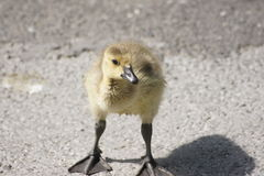 Big Webbed Feet Royalty Free Stock Images