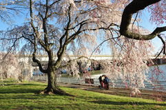Big weeping cherry tree Royalty Free Stock Photography