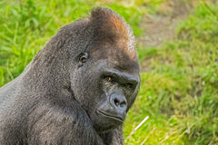 Big western lowland gorilla Royalty Free Stock Photography