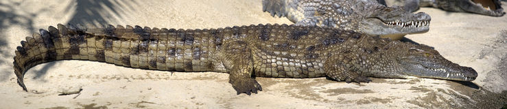 Panoramic view of big wet Nile crocodile. Image assembled from few frames Royalty Free Stock Photography