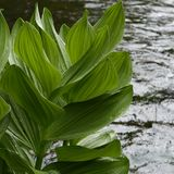 Big wet river leaves Royalty Free Stock Images