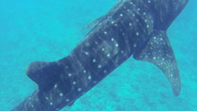 Big whale shark swimming in shallow water stock video