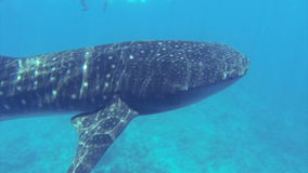 Big whale shark swimming in shallow water stock footage