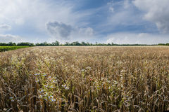 Big Wheat Field and Flowers Royalty Free Stock Photo
