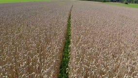 Big wheat field stock video