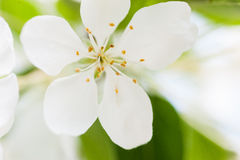 Big white apple flower over green background Royalty Free Stock Photos