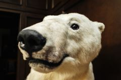 Big white bear looks at camera royalty free stock photo