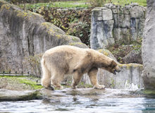 Big white bear. Polar bear goes for a swim in the sea. Early spring in Alaska wild bear catches a fish. Stock Photo