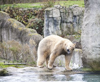Big white bear. Polar bear goes for a swim in the sea. Early spring in Alaska wild bear catches a fish. Royalty Free Stock Images